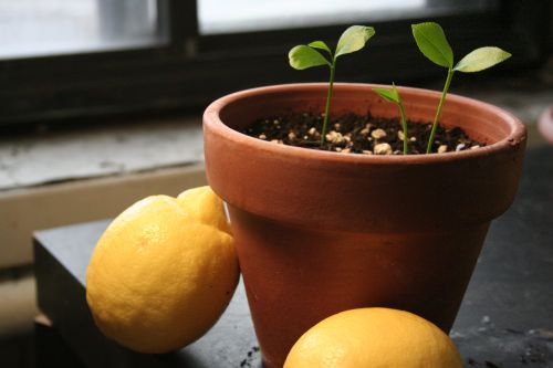 Grow a Lemon Tree from Seed